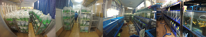 Packing process for export aquarium fish